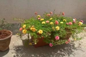 两块钱买的松叶牡丹种子五天种出小芽一个月长成开花盆栽