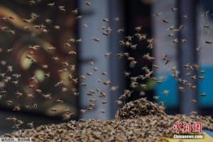 研究人员称蜜蜂会数数压力越大表现越好