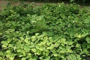 王泽民主任谈非凡的鲜草药——能利尿消肿排石的金钱草