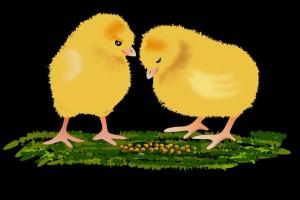 鸡得了腹水还能吃吗健康饮食须知